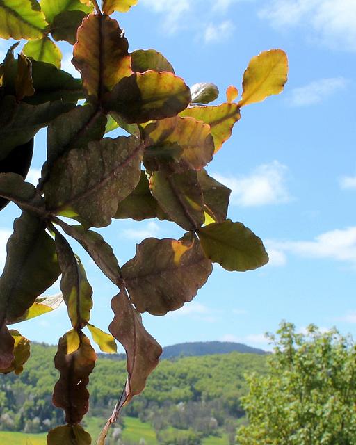 Rhipsalis oblonga ruber.. (3)