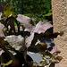 Rhipsalis oblonga ruber..