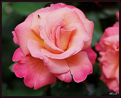 Rosacées ...