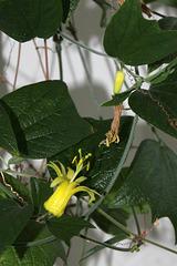 Passiflora citrina - Les 3 âges