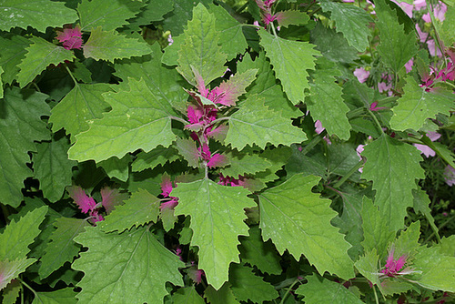 Chenopodium album ssp amanticolor