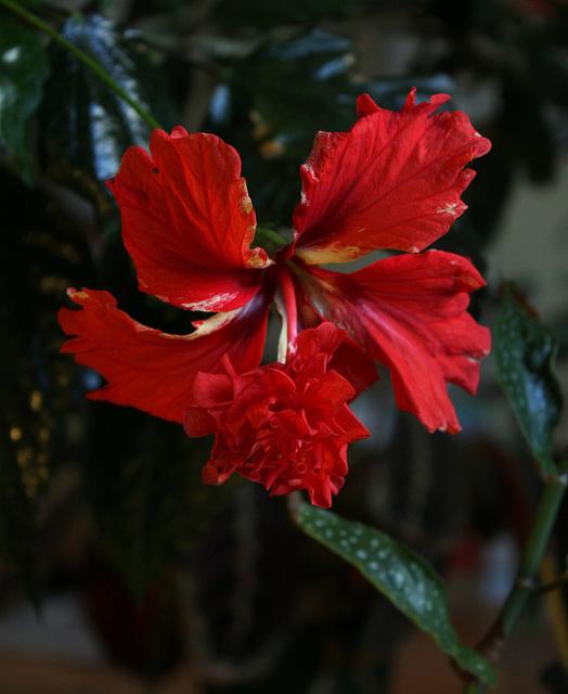 Hibiscus El Capitolio  (2)