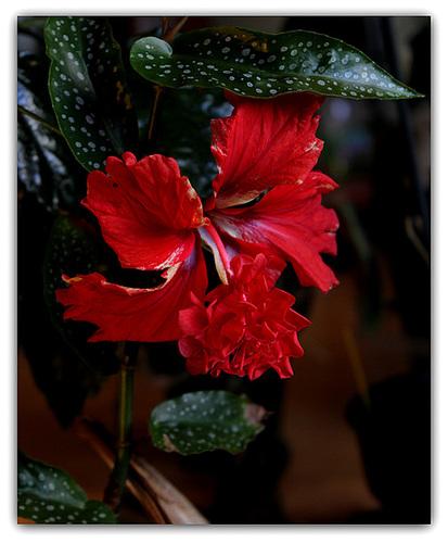 Hibiscus El Capitolio  (4)