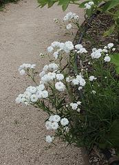 Achillea ptarmica flore pleno