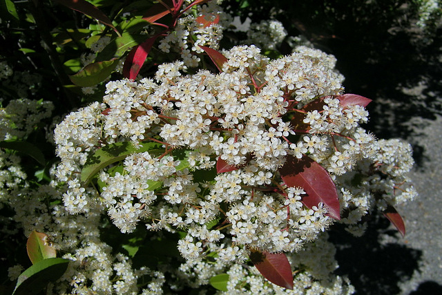Fleurs blanches : Photinia red Robin