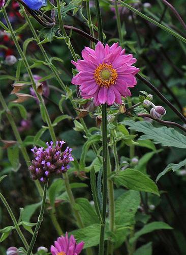 Anemone hupehensis var Japonica double - Copie1