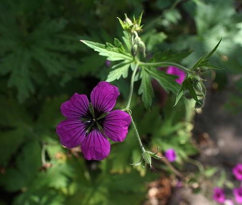 Geranium 'Ann Folkard ' x ptilostemon