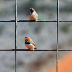 Zebra finches..(milieu naturel)