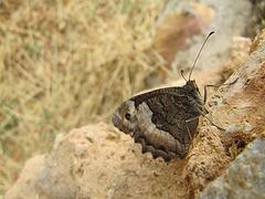 Mariposa de Sierra Nevada