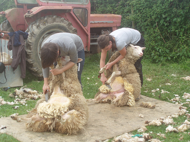 P6090058    Shearing the hoggets 2014
