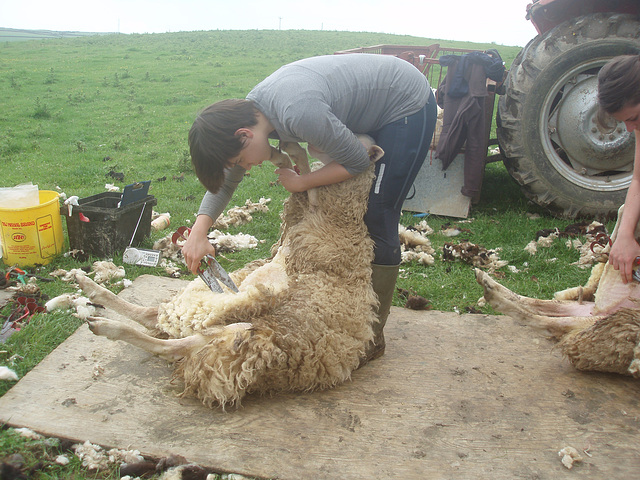 P6090063    Shearing the hoggets 2014