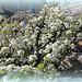 Poirier en fleurs (2)