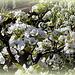 Poirier en fleurs (3)