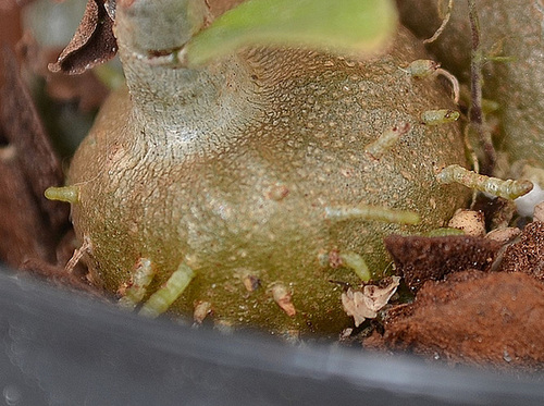 Hydnophytum sp. DSC 0099