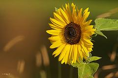 Petit soleil végétal