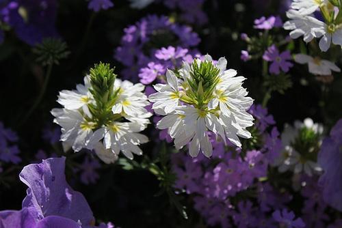 Scaevola aemula blanche