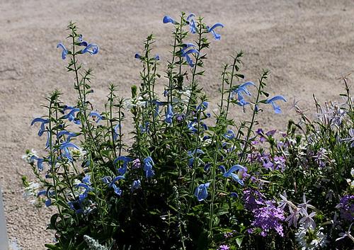 Salvia patens (2)