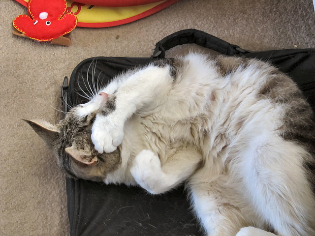 18 rembarrassed cat