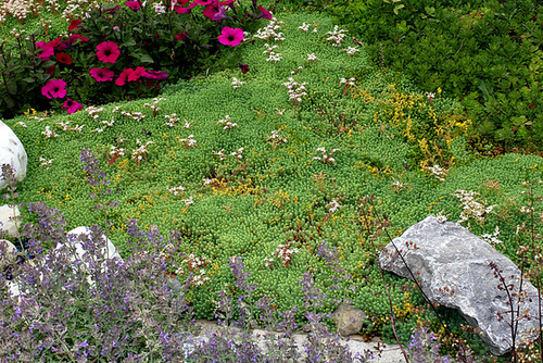 Sedum à identifier-Le Jardin bijou de Loulou de la Falaise (14)