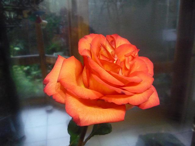 Otra rosa roja
