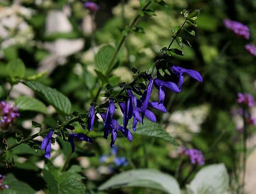 Salvia guaranitica (2)