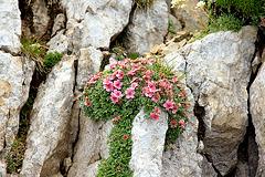 Blütenbaum im Fels des Latemar