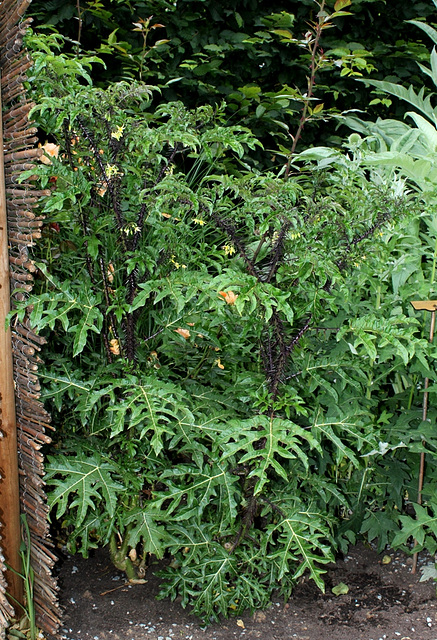 Solanum atropurpureum