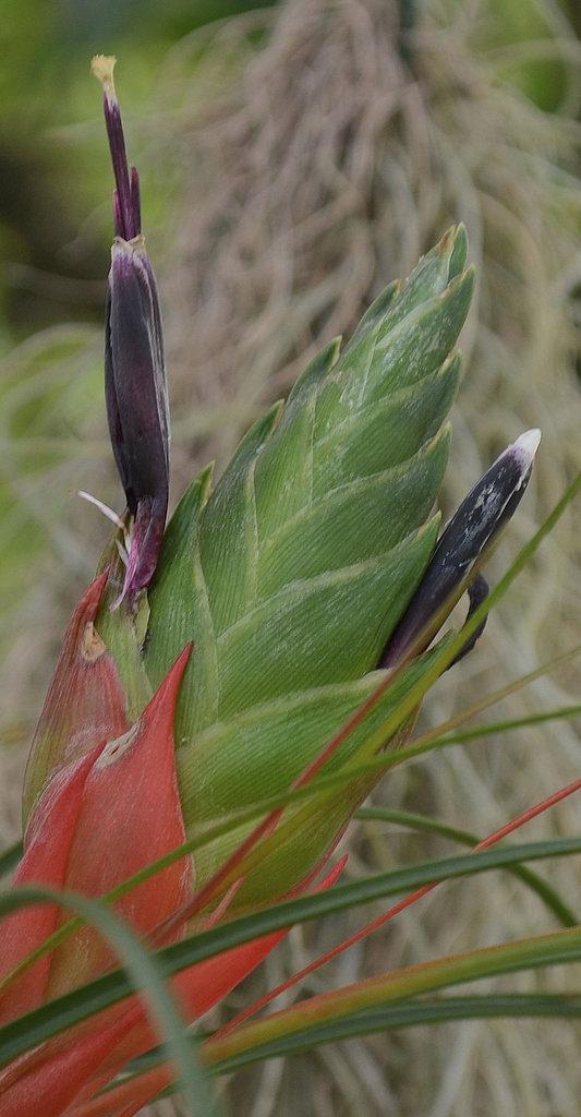 Tillandsia punctulata DSC 0075