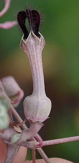 ceropegia woodii DSC 0080