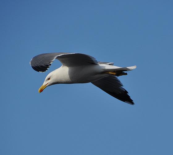 le bel oiseau d'Essaouira