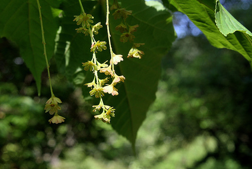 Acer davidii serpentine (2)