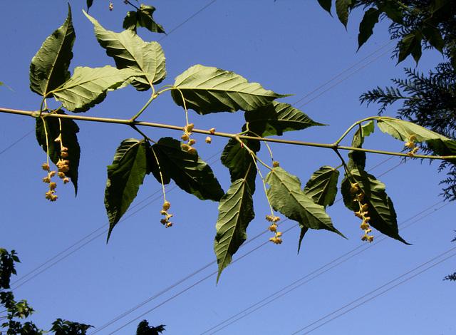 Acer davidii serpentine (4)