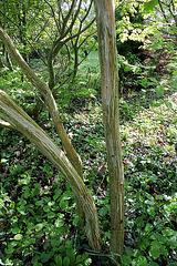 Acer capillipes Antoine