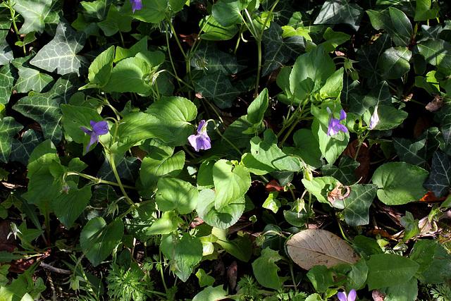 Viola (2)