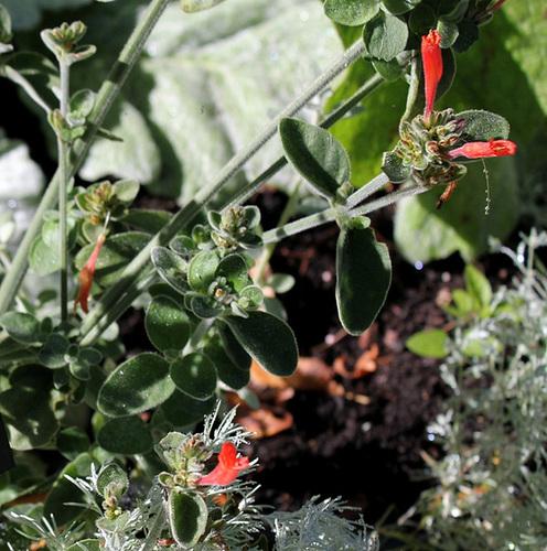 Jacobinia suberecta orange (3)