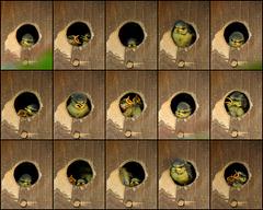 Een hokje vol pimpelmezen......tijd om uit te vliegen!