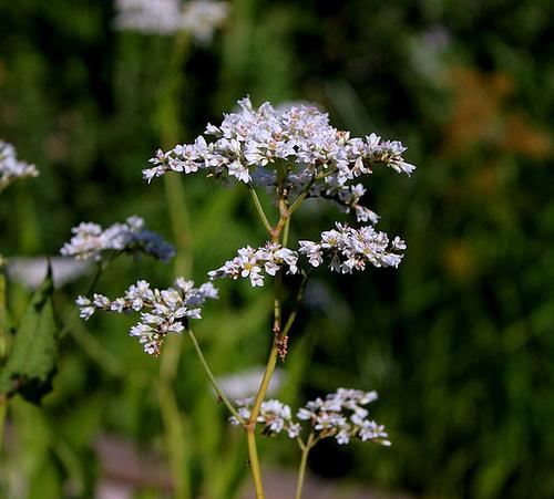 Fagopyrum esculentum- Sarrasin