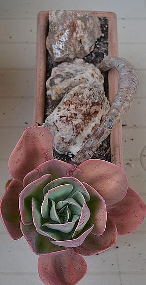 Echeveria glauca DSC 0025