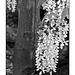 Arbor in black and white