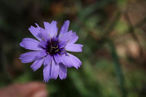 Catananche caerulea (3)