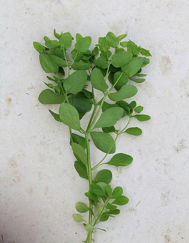 Euphorbia peplus- omblette , Esule ronde (2)