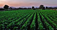 Cultivo de tabaco
