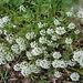 Fleurs blanches : Corbeille d'argent