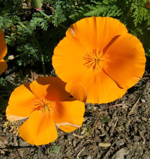 Escholtzias California