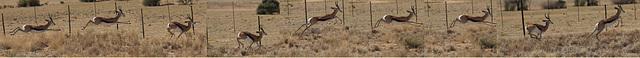 course avec le springbok