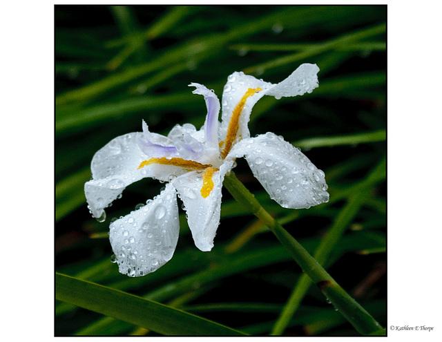 Lirope in Rain