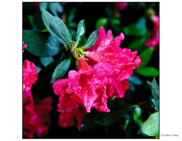 Red Ruffle Azaleas in Rain 3