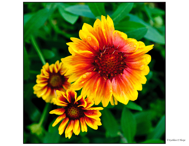 African Daisy Cluster