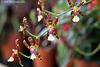 Dancing Orchids.  072 copy Explore