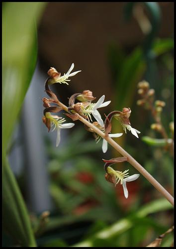 Anoectochilus formosanus (3)